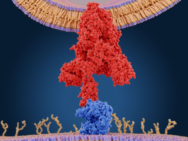 ACE2 Receptors: The Science Of How Coronavirus Infects The Lung & Makes People So Sick 1